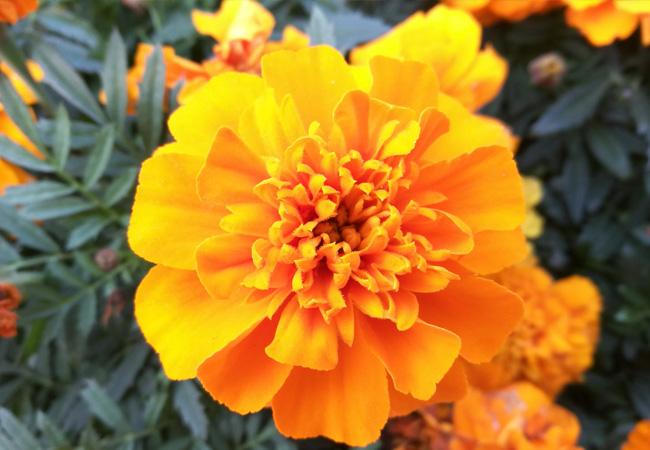节日花卉容器苗,节日花卉价格,节日花卉营养钵苗