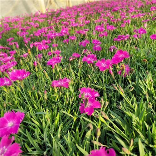 江西绿化专用欧石竹繁殖方法