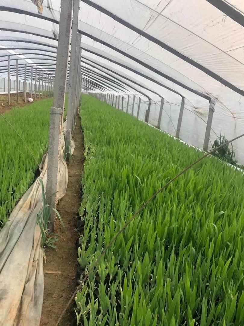 山西鸢尾苗种植基地