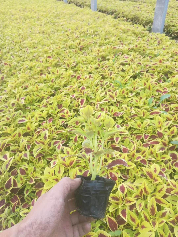 彩叶草,彩叶草报价,彩叶草供应