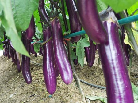 茄子种子,茄子种苗,茄子种苗价格