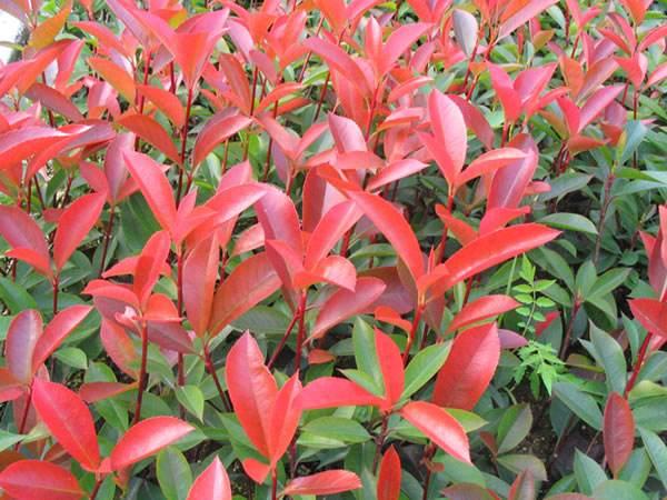 红叶石楠价格,红叶石楠批发,红叶石楠小苗