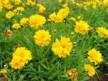 金鸡菊培育基地-金鸡菊种植基地