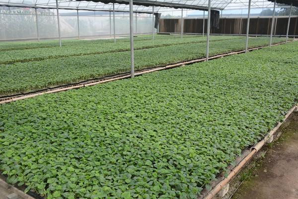 抗死棵西红柿苗,西红柿种苗,西红柿种苗价格
