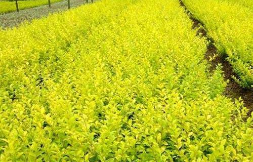 枣庄市大型金叶女贞树种植