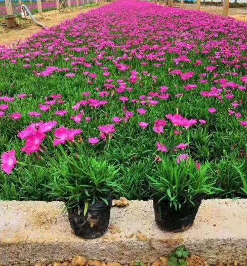 内蒙古白花欧石竹种植基地