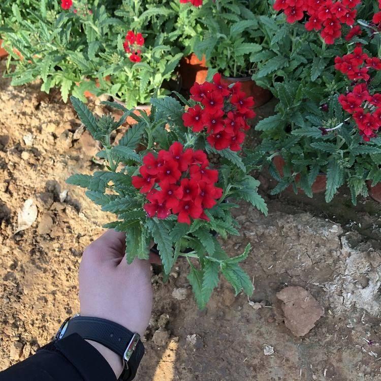 重庆美女樱苗种植基地