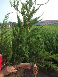 江苏龙柏种苗种植