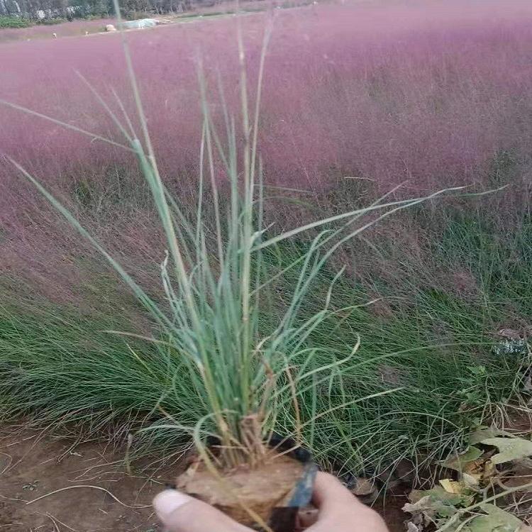 湖北粉黛乱子草幼苗种植
