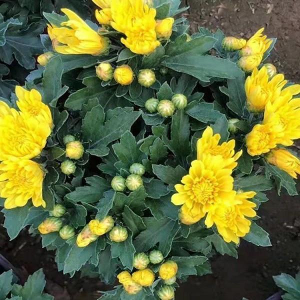 内蒙古国庆菊小苗种植