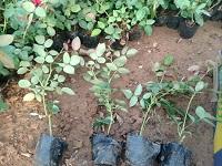 辽宁月季种植基地