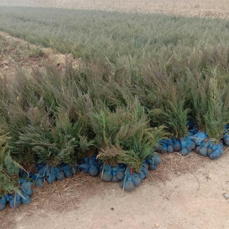 重庆沙地柏树苗出售