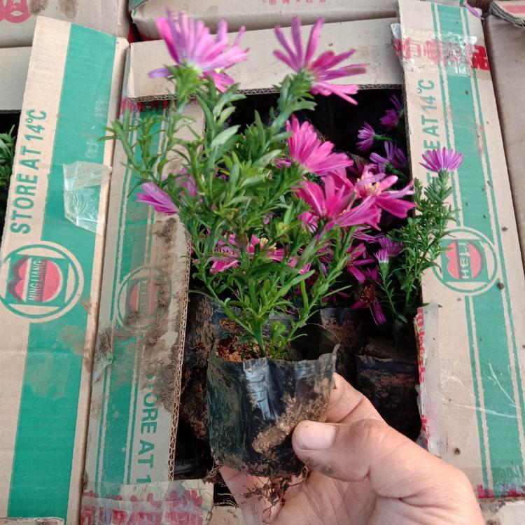 山东绿化用荷兰菊哪里有