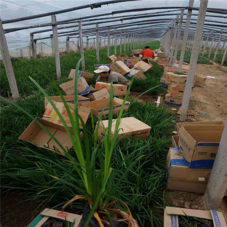 烟台麦冬幼苗供应商
