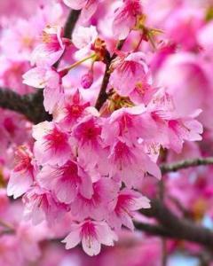 樱花基地,樱花种植基地,樱花供应