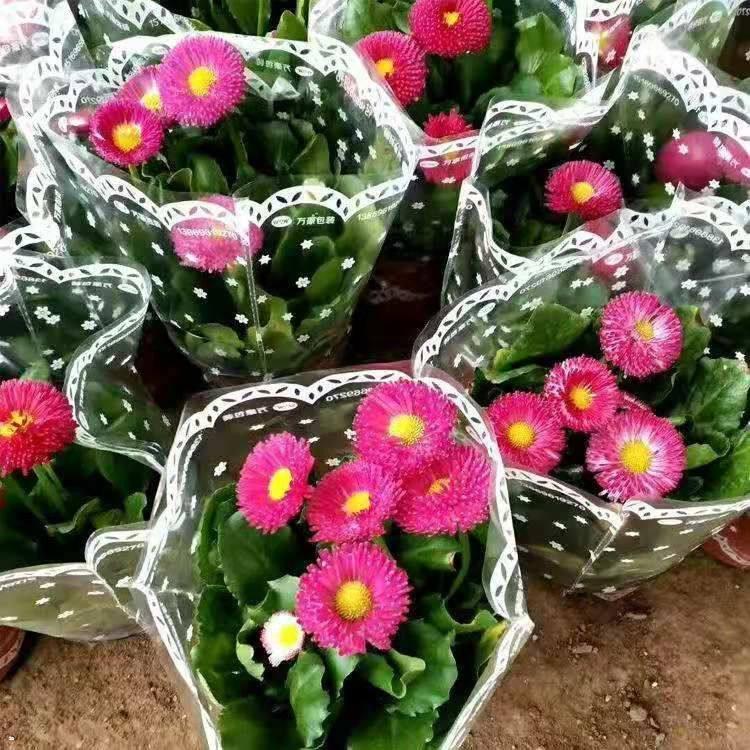 上海雏菊供货源地
