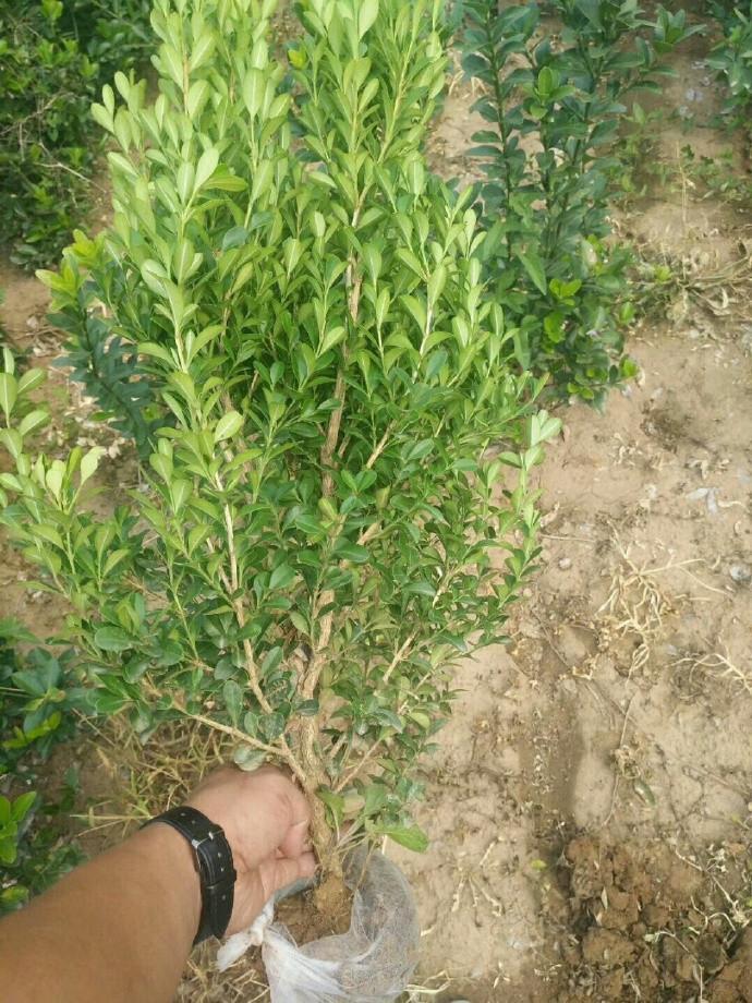 河南瓜子黄杨工程苗种植
