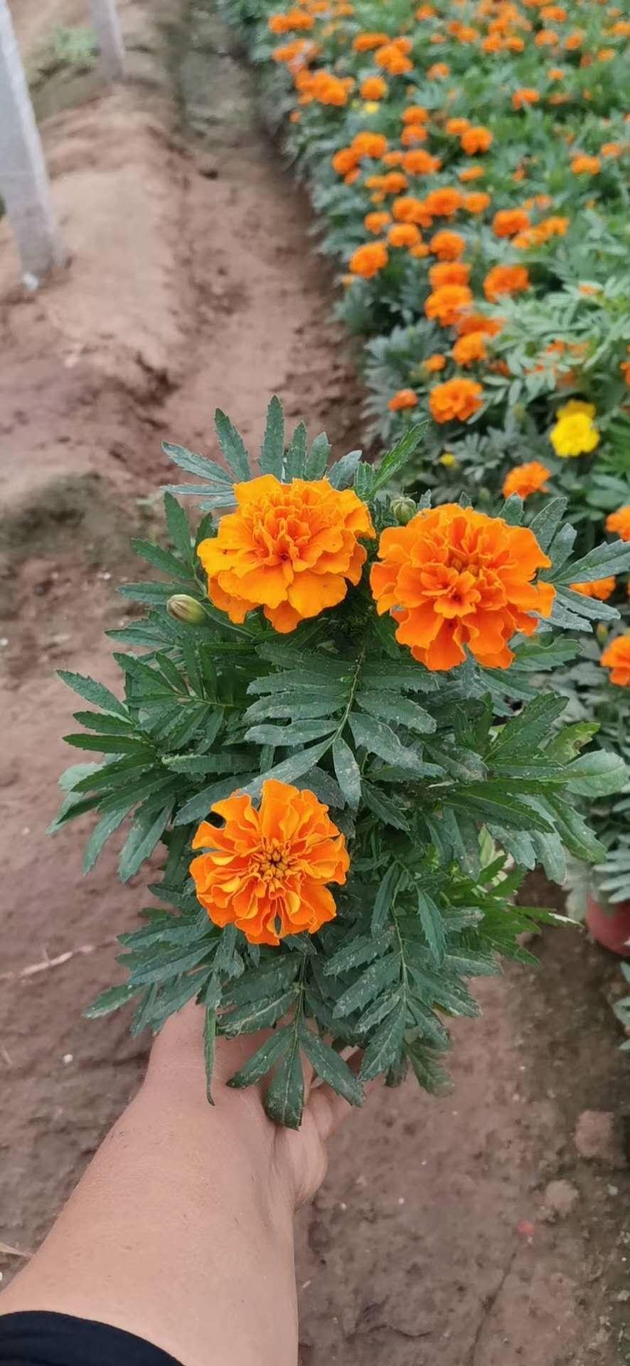 天津印加孔雀草种植