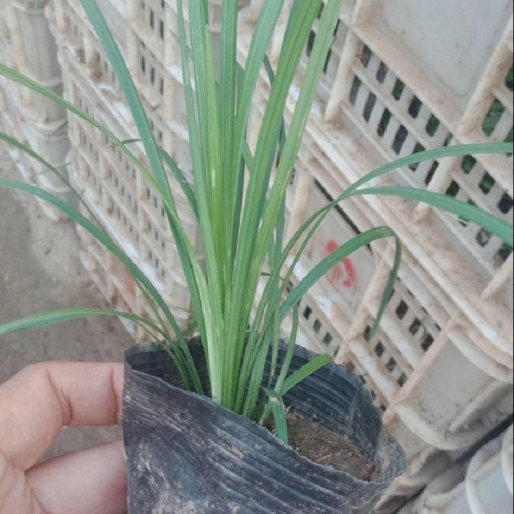 济南绿化用麦冬草价格
