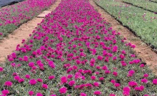 新疆盆栽太阳花种植基地