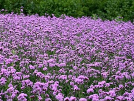 【小欢喜】柳叶马鞭草批发——柳叶马鞭草种植基地