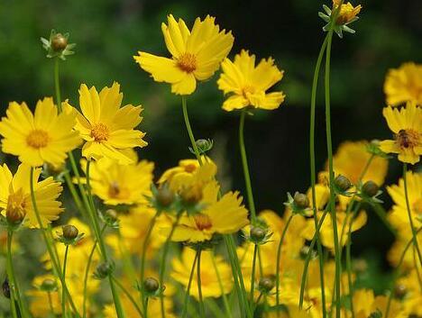 广西耳叶金鸡菊哪里有
