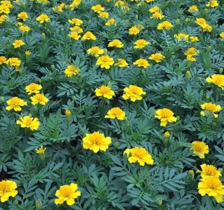 内蒙古孔雀草种植