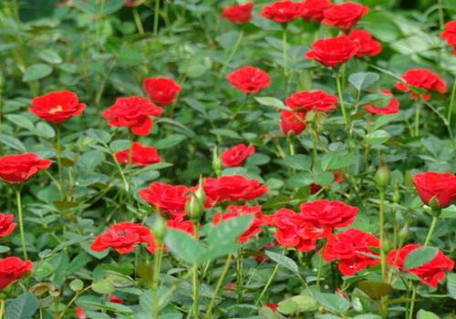 广东红帽月季苗圃种植