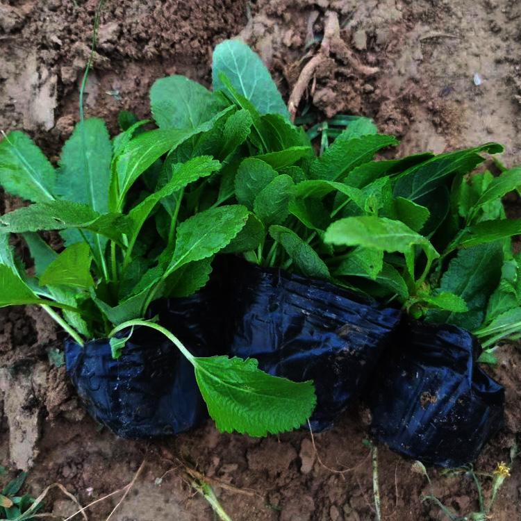 安徽鼠尾草种子出售