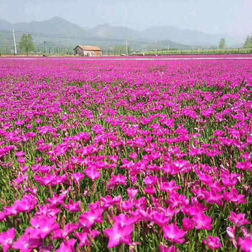 广东欧石竹地栽苗多少钱