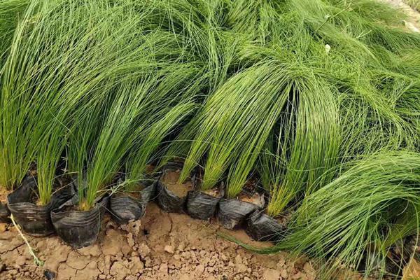 安徽绿化细茎针芒培育