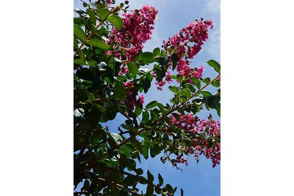 安徽盆栽紫薇哪里卖