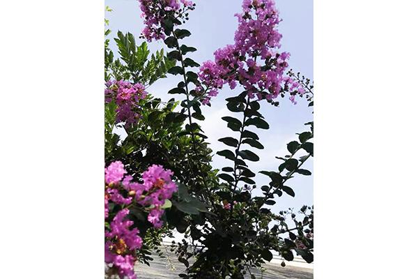 天津盆栽紫薇供应商