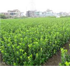 河南大叶黄杨种植基地