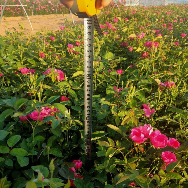 北京三季薔薇小苗哪里有