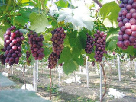 葡萄專用膜的特點介紹