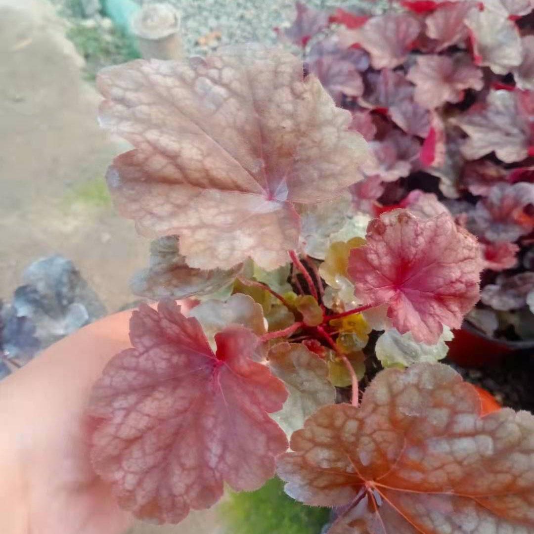 濟南礬根報價,礬根盆栽供應商