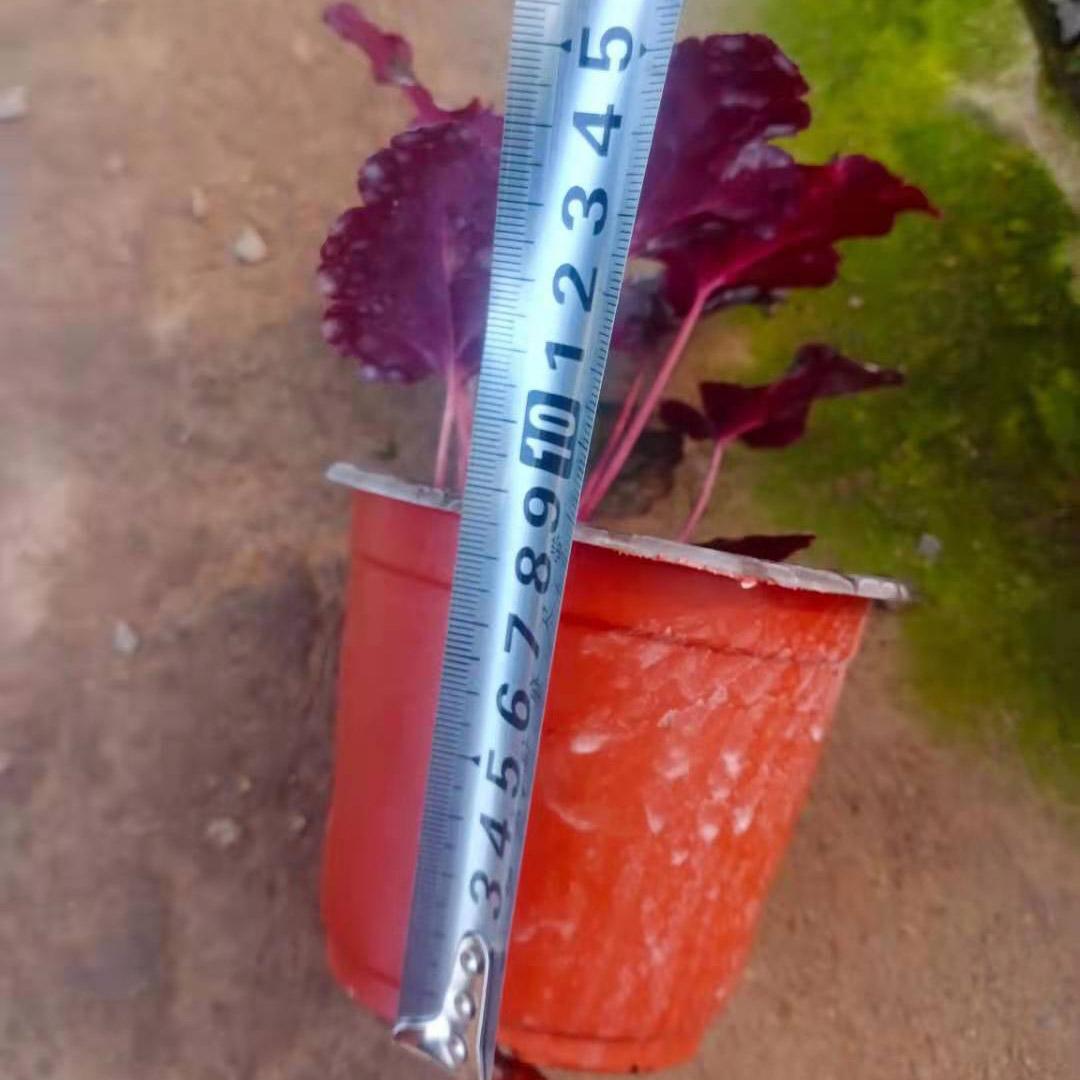 濟寧紅葉礬根批發基地