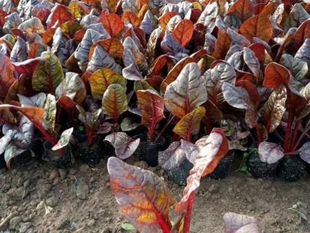 四川紅葉甜菜小苗種植基地