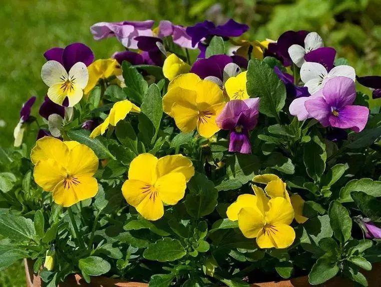 山東三色堇盆苗種植基地