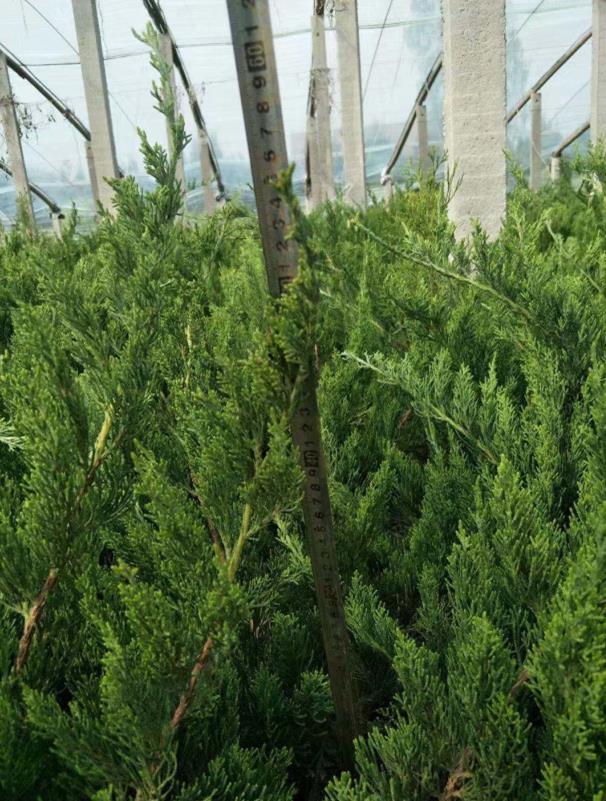 四川1米龍柏種植