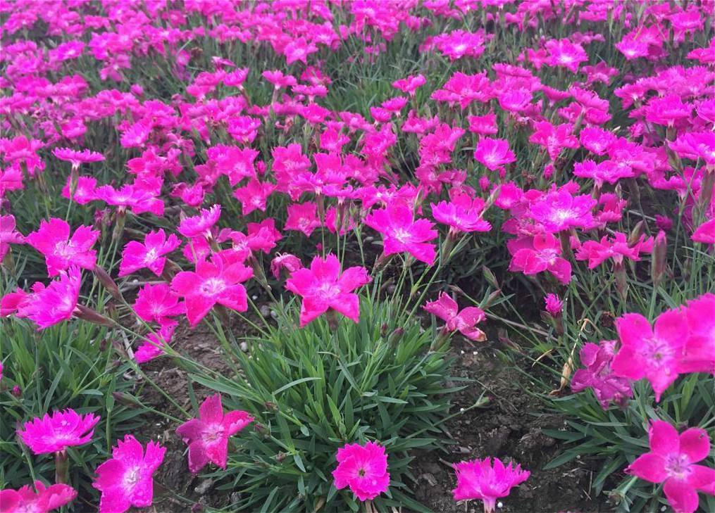江苏美国石竹种植基地
