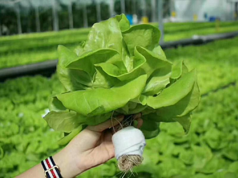 浙江蔬菜無土栽培技術有風險嗎