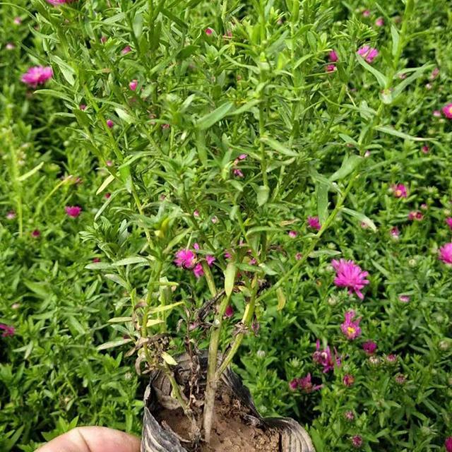 青州荷兰菊小苗种植