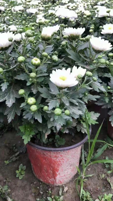 潍坊千头菊种苗种植