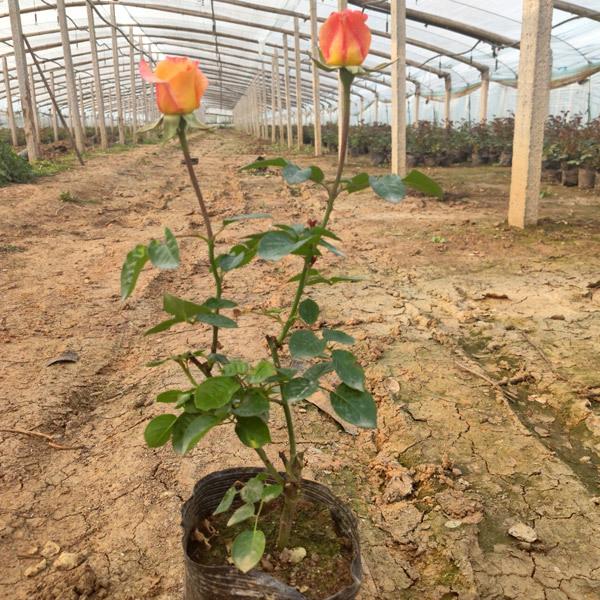 山西树状月季种植,绿化月季种植